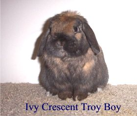 Troy Boy (Thunder's sire) - Photo taken from www.ivycrescenthollands.com