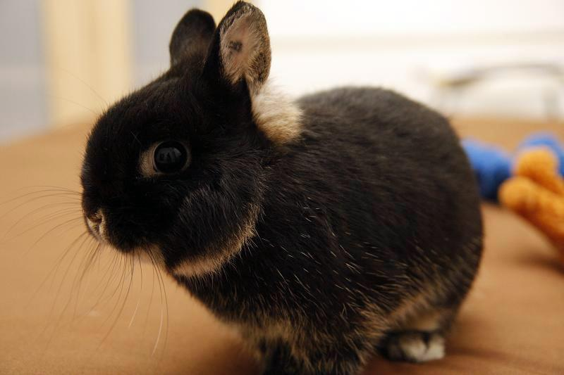 Genesis Tru Luv Rabbitry Quality Holland Lops In Malaysia