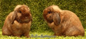 A stumpy Holland Lop with short snout/muzzle. Short and rounded ears to adhere to standards.
