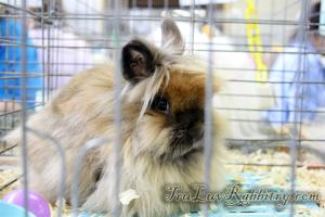 A very gorgeous Tort Lionhead rabbit.