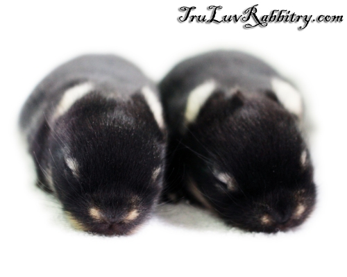 At 1 week young, their fur has grown and eyes are not open until the 10th or 11th day.