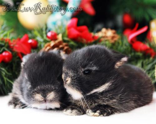 The kits will start to get fluffier and cuter at 2 weeks as their fur grow thicker and longer. This is their most vulnerable time in the pet trade. Most buyers are mesmerized by their cuteness not realizing that they are still very young to be taken away from their dam.
